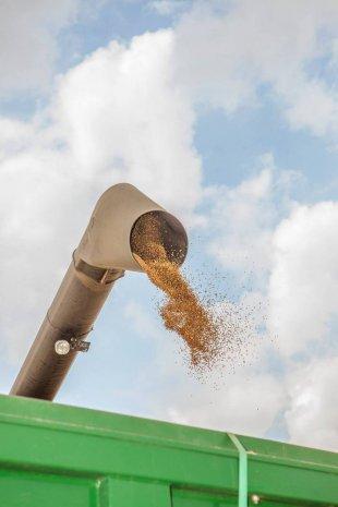 Сыплющееся из комбайна зерно