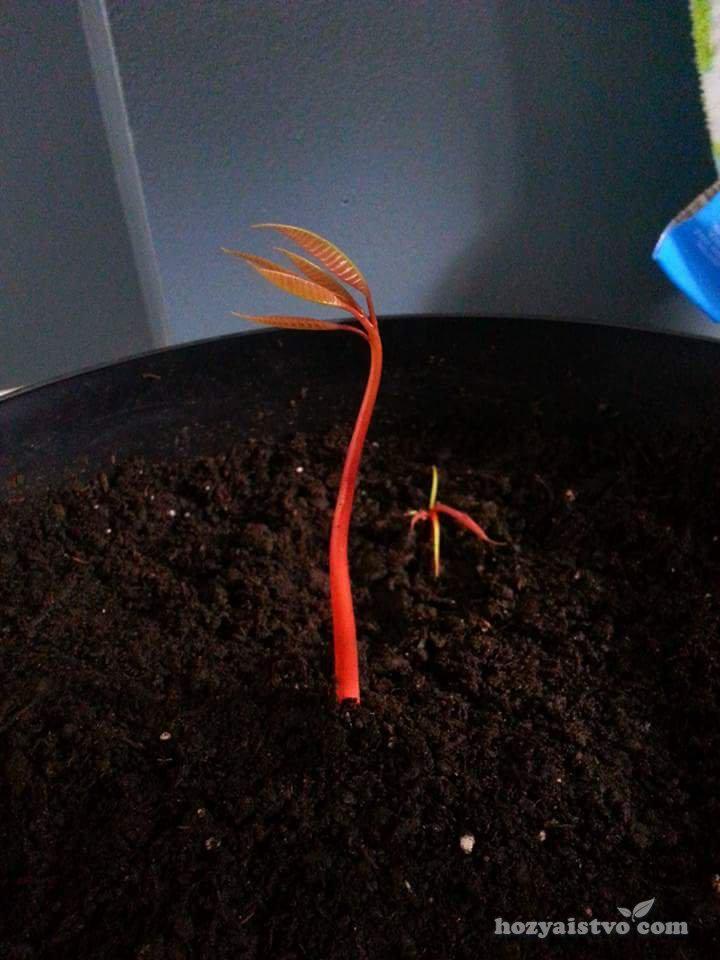 Дерево из косточки