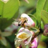 Пчела во время взятка