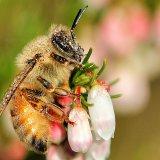 Пчела в утренней росе