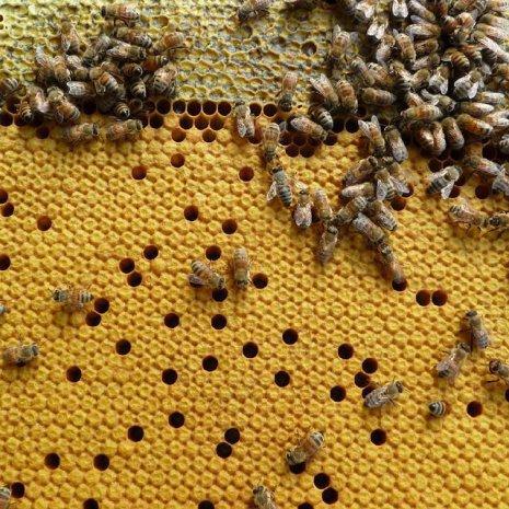 Запечатанный пчелиный расплод