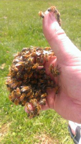 Пчелы в руке пчеловода