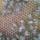 Пчелы на соте с медом