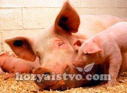 как принять роды у свиньи