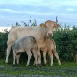 Корова с двумя теленками