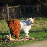 Лохматые коровы