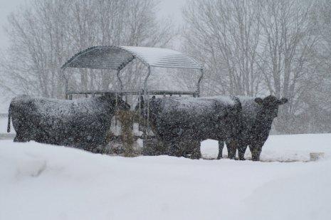 Зимний выпас скота