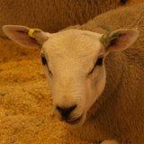 Овца мясной породы