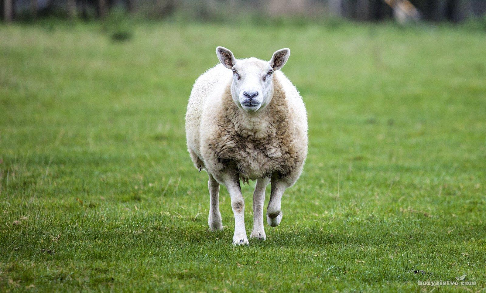 Чистопородная овца