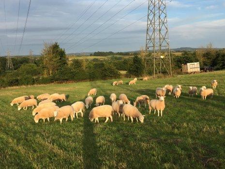Пасущиеся овцы