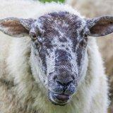 Старая овечка