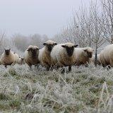 Выпас овец глубокой осенью