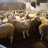 Лучшая мясная порода овец