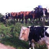Корова в каске