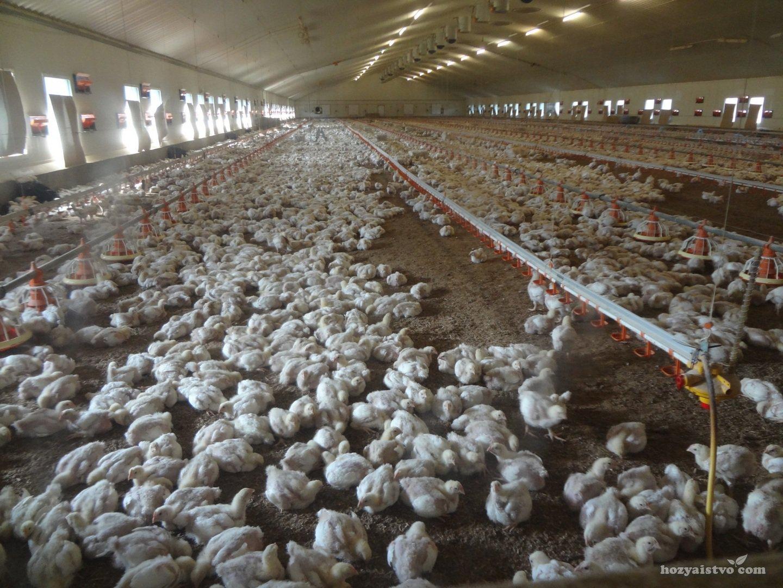 Выращивание цыплят бройлеров на мясо
