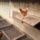 Курица на домашнем подворье