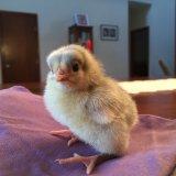 Инкубационный цыпленок