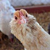 Любопытная курица