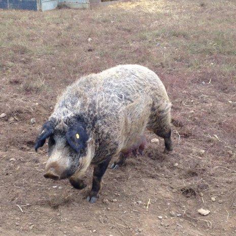 Хорошая свиноматка