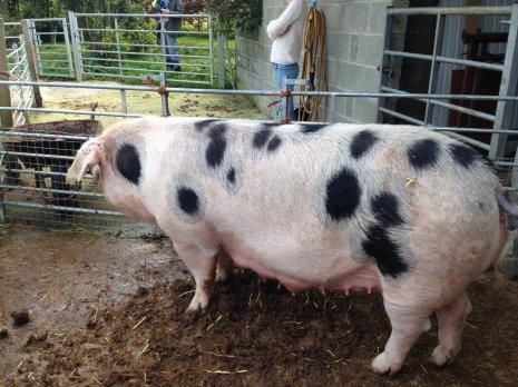 Свиноматка на подворье