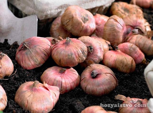 Обработка и посадка луковиц гладиолусов