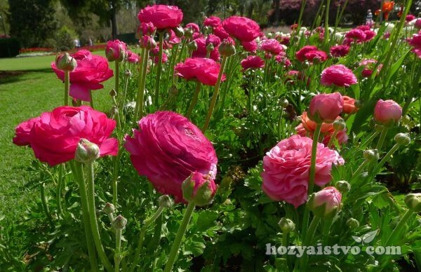 ranculus in garden