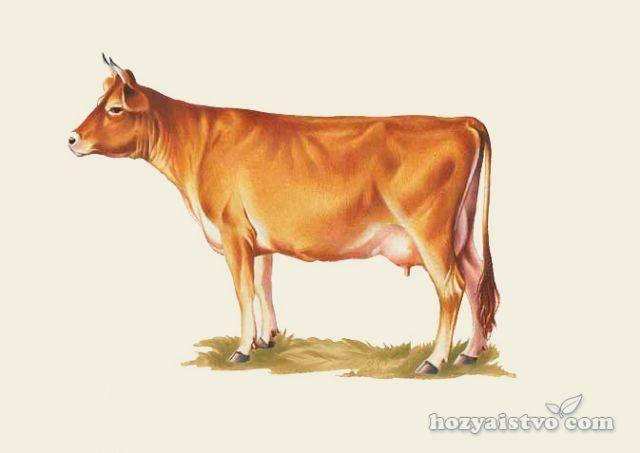 Джерсейская порода коров