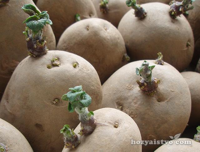 Предпосевная подготовка клубней картофеля