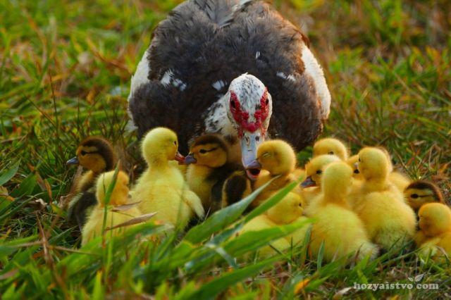 Индоутки - прекрасные матери и самоотверженно защищают молодых утят.