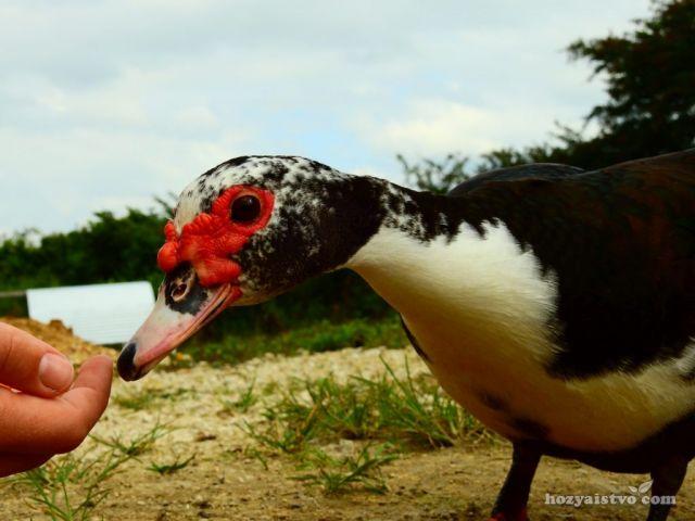 Дружелюбная мускусная утка ест с руки