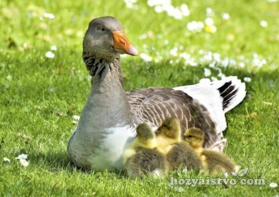 goose with child