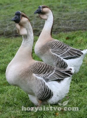 africane goose couple