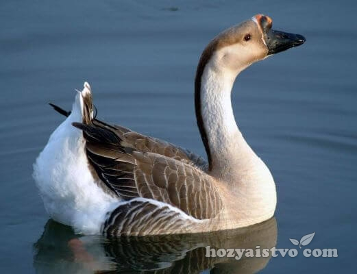 africane goose in water