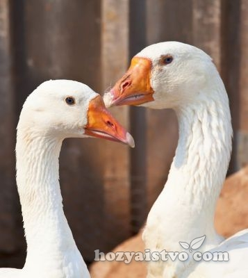 couple geese