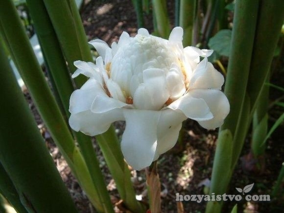 Белый имбирь