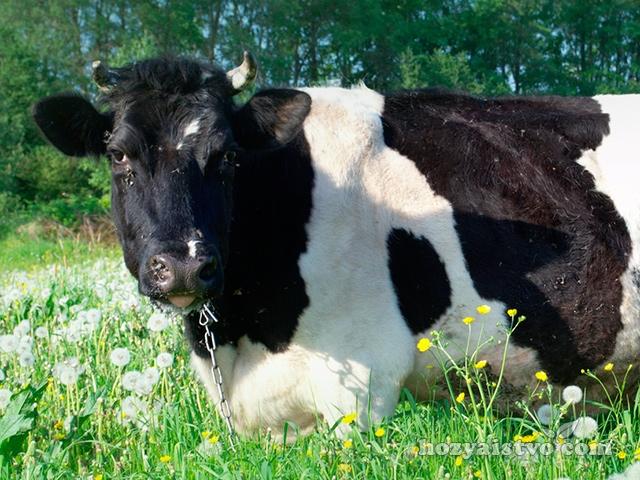 Чем можно отравить корову