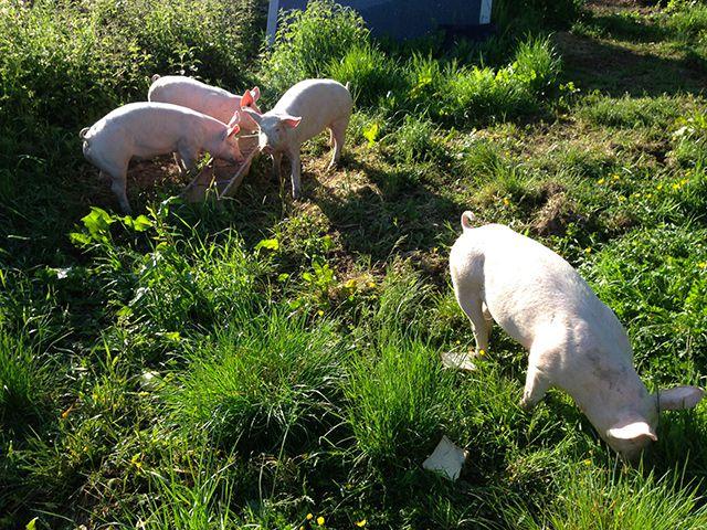 Правила содержания свиней ЛПХ