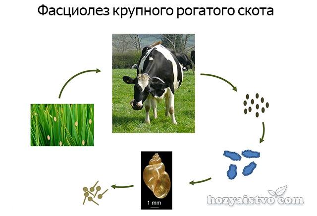 Фасциолез КРС